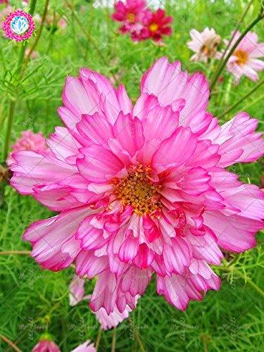 100pcs Rare Bonsai Double Cosmos Graines de fleurs vivaces plantes à fleurs en pot pour jardin Facile à cultiver 1