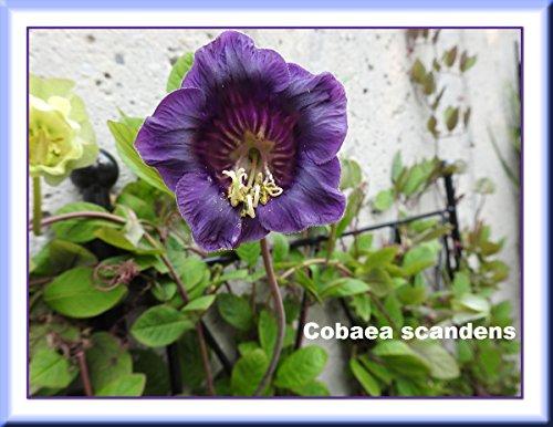 Cobaea scandens photography 2017 (English Edition)