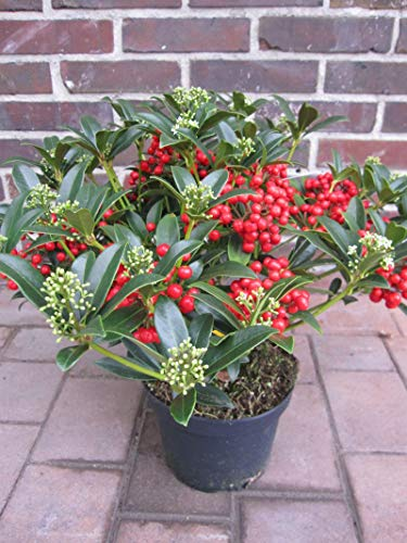 Skimmia japonica Red Diamond - japanische Skimmie Red Diamond -