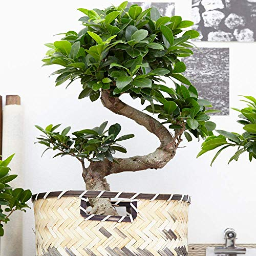 Bonsái Decorativo de interior 'Ficus Ginseng' Planta Viva en Maceta de 12 cm para el Hogar u...