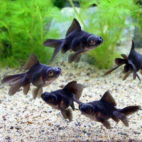 (国産金魚)出目金 黒(1匹)