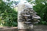 Root Mushroom Farm— Oyster Mushroom-All in one...