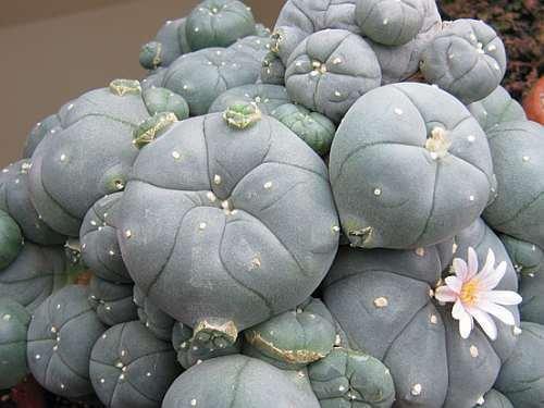 Exotic Plants Lophophora williamsii v La Paloma - Peyotl – cactus San Pedro - 10 graines