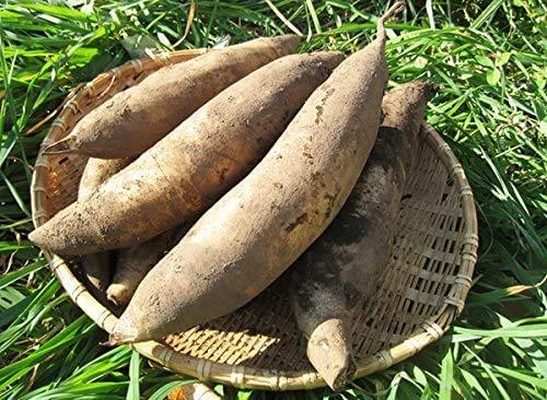 北海道産 完熟生ヤーコン芋5kg