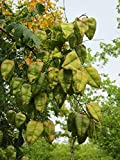 Koelreuteria paniculata (Albero delle Lanterne Cinesi) - Pianta