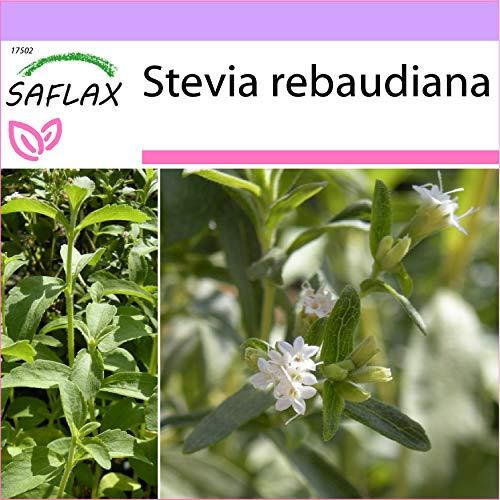 SAFLAX - Hierba dulce - 100 semillas - Stevia rebaudiana