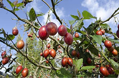 Asklepios-seeds® - Cyphomandra betacaea, 50 Tamarillo Samen, Baumtomate, Rot