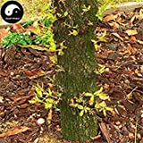 ASTONISH Erstauner SEEDS: Kaufen Baumsamen 15pcs Pflanze Quercus Acuta Baum für Quercus Xiang Shu