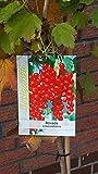 Rote Johannisbeere Rovada Stämmchen 90 cm 5 Liter Pflanzcontainer 5-7 Triebe