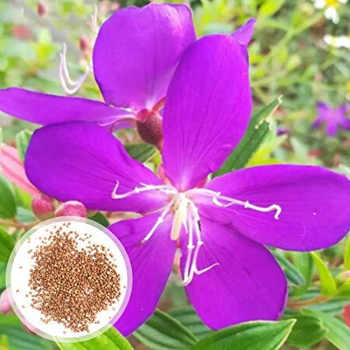 100 Stück/Beutel Tibouchina Seecandra Cogn Seeds Country Zierpflanzen Einfach Zu Pflanzen Naturpflanzen Blumensamen Garten Tibouchina Seecandra Cogn Seeds