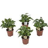 Hellogreen Zimmerpflanze - 4er-Set - Kaffeepflanze Coffea Arabica - 25 cm - Luftreinigend -...