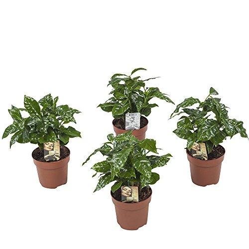 Plantes d'intérieur de Botanicly – 4 × Caféier – Hauteur: 25 cm – Coffea Arabica