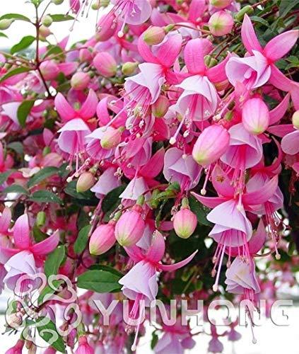 100pcs/bag Fuchsia Seeds, Fuchsia Flowers,Lantern Flower, Begonia Flower,Seeds Flower Seeds, Plant for Home Garden