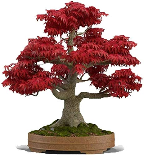 Bonsai Tree Seeds Japanese Red Maple 100 Pcs Seeds Bonsai, Japanese Maple Tree Seeds (ACER palmatum)