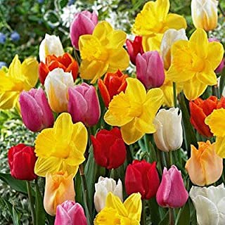 20 All in One Mixture - A Random, Colorful Mix of Tulips and Popular Dutch Master Daffodils!