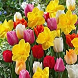 100 All in One Mixture - 50 Tulips Bulbs and 50 Daffodil Bulbs a Colorful Mix of Tulips and Popular Dutch Master Daffodils!