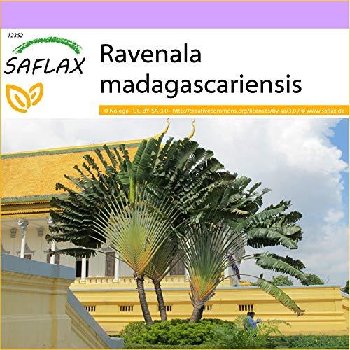SAFLAX - Baum des Reisenden - 8 Samen - Ravenala madagascariensis