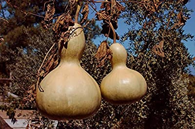 AchmadAnam - Seeds - Birdhouse Gourd, Fun for Birdlovers, Crafts & Selling @ Farmers Markets. E8