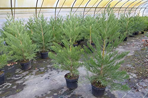 2st. Mammutbaum Set : 1 Riesenmammutbaum 30-40cm + 1 Urweltmammutbaum 60-100cm im Topf