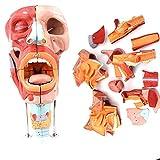 FSFF Modelo de órgano Humano: Nariz, Boca, faringe y laringe, Modelo de Lengua, Cuello y Garganta, y demostración de educación médica neurovascular