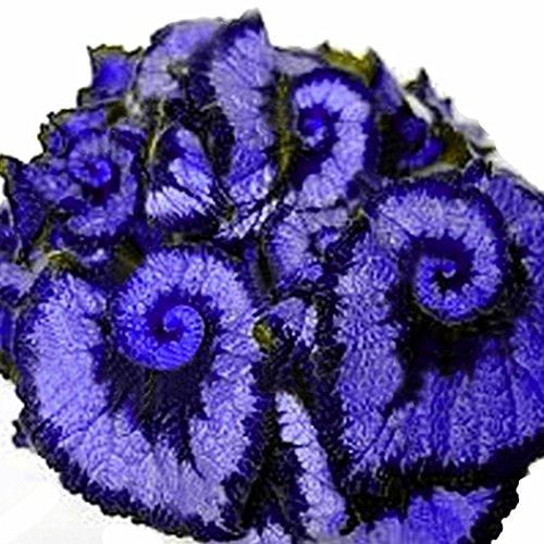 Kisshes Seeds- 50 unids/bolsa Coleus Semillas Raras Semillas de Begonia de Color Bonsai Plantas de Flores Balcón (# 04)