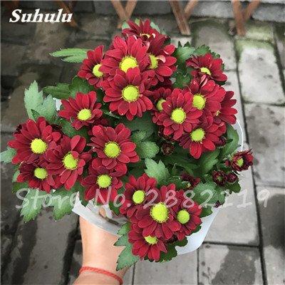 120 pcs graines graines de fleurs Daisy strawberry marguerite, fleurs de saison graines chrysanthème, Bonasi beau balcon fleuri coloré 4