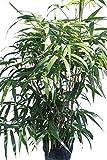 Pfeilbambus - Pseudosasa Japonica - Bambus mit...