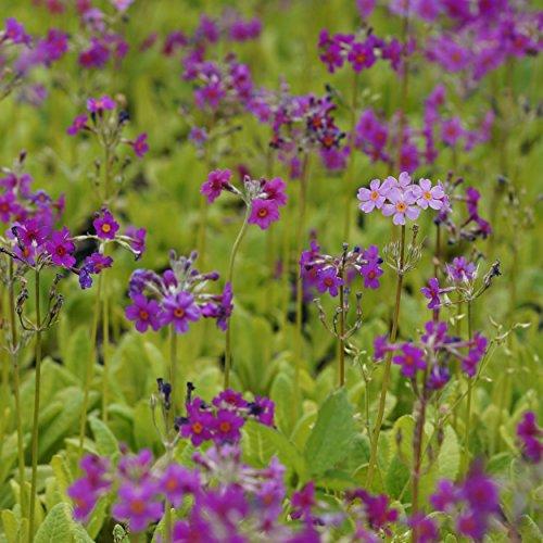 Blumixx Stauden Primula beesiana - Etagen-Primel, im 0,5 Liter Topf, violettpurpur, orange blühend
