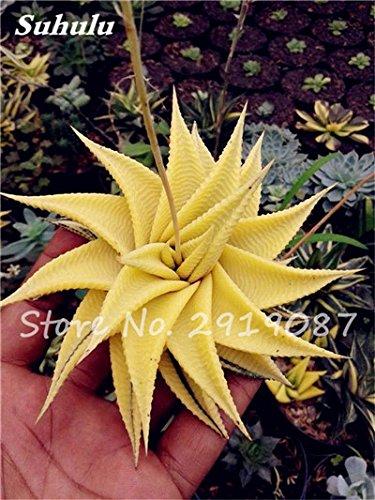 Nouveau! 20 Pcs coloré Cactus Rebutia Variété mélange exotique Aloe Graines Cacti Rare Bureau Cactus comestibles Beauté Succulent Bonsai Usine 12