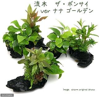 (水草)流木 ザ ボンサイ Ver.アヌビアスナナ ゴールデン Sサイズ(1本)(約15cm)