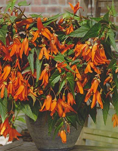 Bauernbegonie Begonia Bertini Santa Cruz...