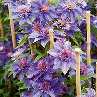 Kisshes Seedhouse 50pcs graines de Cl/ématite fleur grimpante plante grimpante exterieur r/ésistant au froid