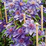 Aimado Seeds Garden- 30pcs graines de Clématite fleur grimpante plante grimpante exterieur résistant au froid