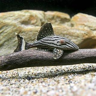 (熱帯魚)ロイヤルプレコ Sサイズ(1匹) 本州・四国限定[生体]
