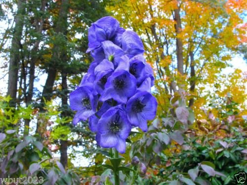 Eisenhut Seeds (Blauer Eisenhut) weltweit giftigste Pflanze, tödliche Schönheit!