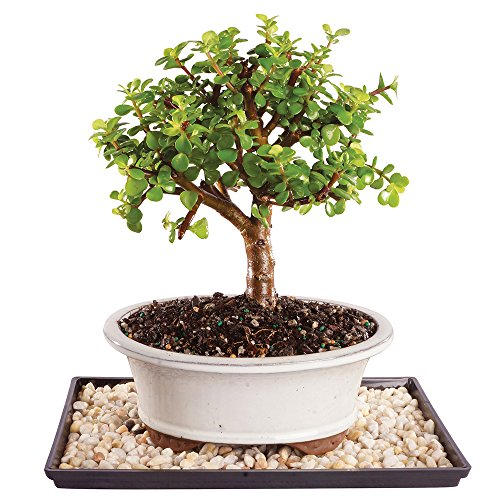 Brussel's Live Dwarf Jade Indoor Bonsai Tree - 5 Years Old; 8' to 12' Tall with Decorative Container, Humidity Tray & Deco Rock