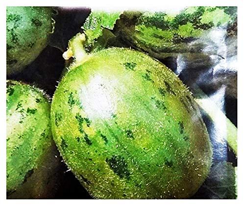 Semillas de carruriales redondos de manduria - frutas - cucumis melo var - carruseles redondos - adzhur - las mejores semillas de plantas - flores vegetales - raras - 150 semillas aprox. -