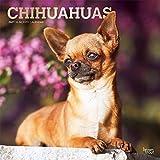 Chihuahuas 2021- 16-Monatskalender mit freier DogDays-App: Original BrownTrout-Kalender [Mehrsprachig] [Kalender] (Wall-Kalender)