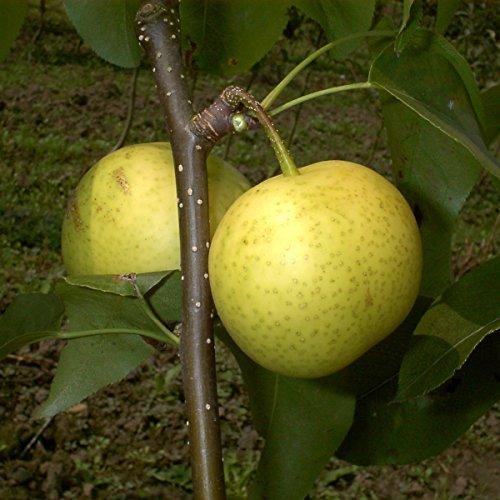 Birnenbaum, Nashi-Birne Hakko, Pyrus Pyrifolia, Obstbaum winterhart, alte Sorte gelb, im Topf, 120 - 150
