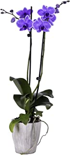DecoBlooms Living Purple Orchid Plant - 5 inch Blooms - Fresh Flowering Home Décor