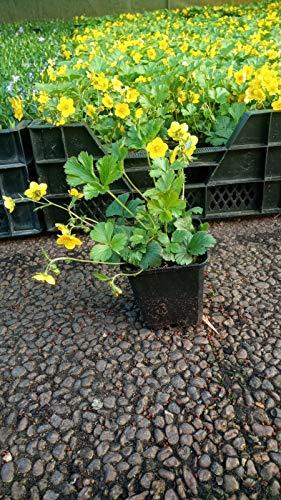 Bodendecker Waldsteinia ternata Golderdbeere 90 St.