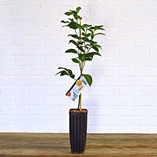 3-4 Year Old Persian Lime Tree, 2.5-3.5 Feet Tall in Grower's Pot