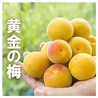 完熟梅 黄金の梅 10kg 生梅 梅干し 梅酒 樹上完熟梅 完熟 梅 福井 木成完熟梅