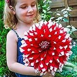 Rare 100pcs Giant Dinnerplate Dahlia Mix Flower SunLoving Empire Dahlia Easy to Grow, Exotic Flower Seeds Hardy Perennial