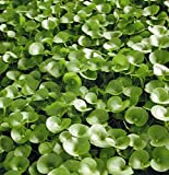 *WFW wasserflora Nierenförmiges Trugkölbchen/Heteranthera reniformis für den Teich