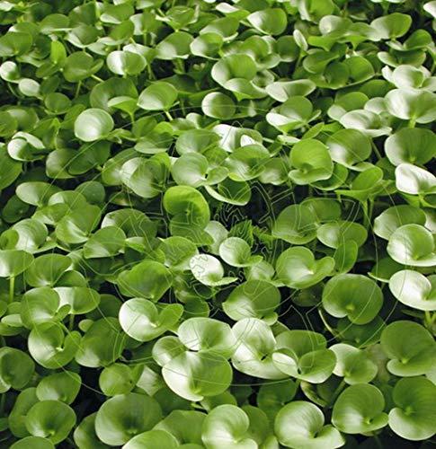 WFW wasserflora Nierenförmiges Trugkölbchen/Heteranthera reniformis für den Teich