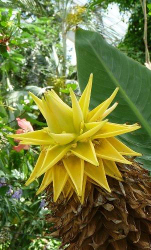 Seedeo Goldene Lotus Banane Musa lasiocarpa 7 Samen