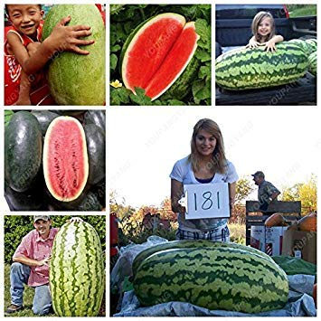 Vistaric 30 pcs Semillas de sandía gigante Black Tyrant King Super Sweet 's fruit Black Beauty home garden plant