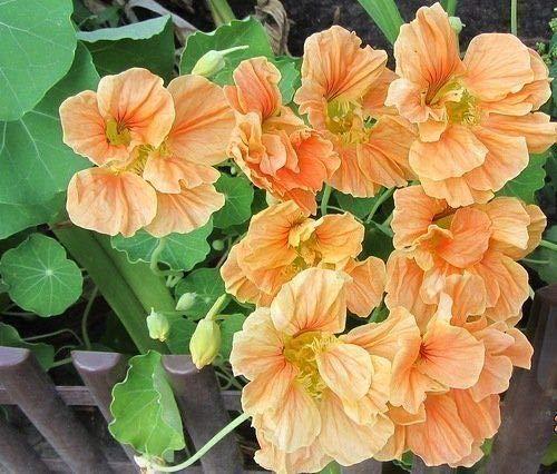 """Portal Cool Bio-Blumensamen Kapuzinerkresse""""Vesuvius"""" Untermaßige (Tropaeolum majus Nanum)"""