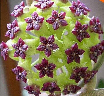 100pcs / sac Vente Hot arc Hoya Rare Graines Outdoor Blooming Bonsai fleurs des plantes en pot Livraison gratuite pour Maison et jardin 4